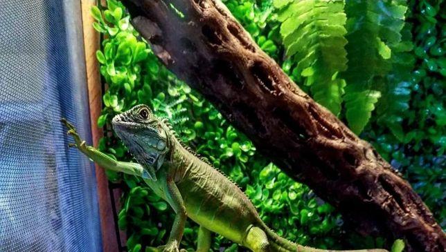 Terrarium dla legwana, agama, gekon, jaszczurki, węże