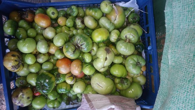 Зелёные помидоры бесплатно