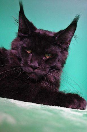 Mała Czarna Puma-dymna koteczka maine coon