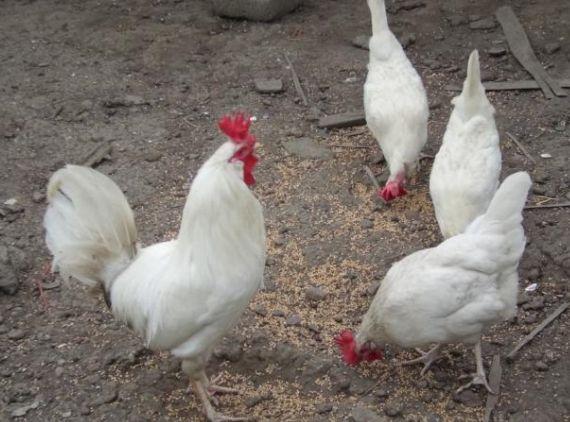 кури Геркулес, якісні яйця для інкубації з Європи