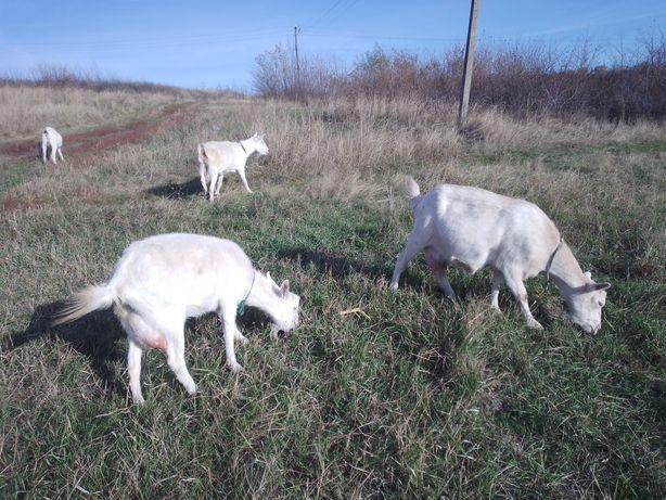 Коза козочка козы козлята