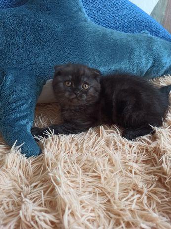 Шоландська кішечка.