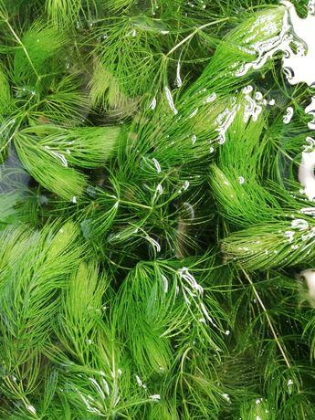 Rogatek - roślina akwariowa ok-40szt