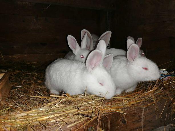 Śliczne króliki termondzkie