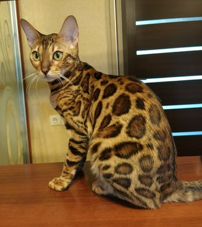 Бенгальские котята предрезерв