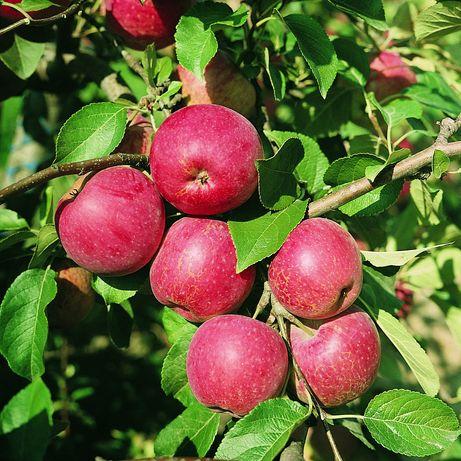 Jabłonie Bezparchowe Sprzedam