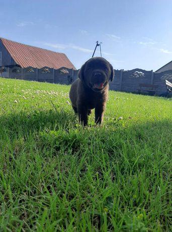 Labrador retriever szczenięta-została suczka czekoladowa