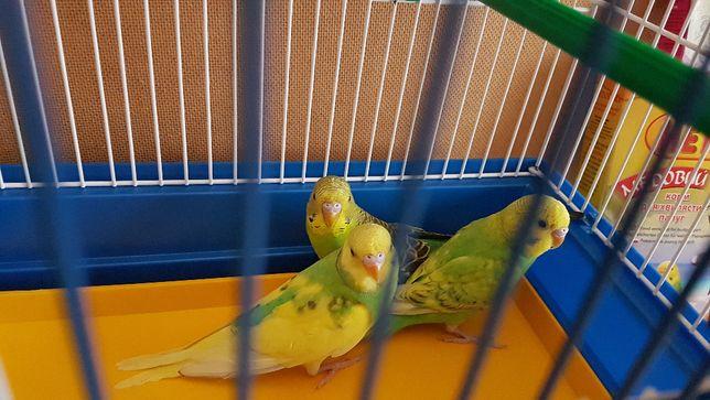 Волнистые попугаи мои с гнезда для разговора 40 дней с клеткой новой