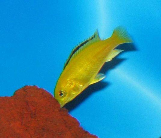 Pyszczak Yellow L. Caeruleus - 3 cm - Sklep Zoo ALTUM