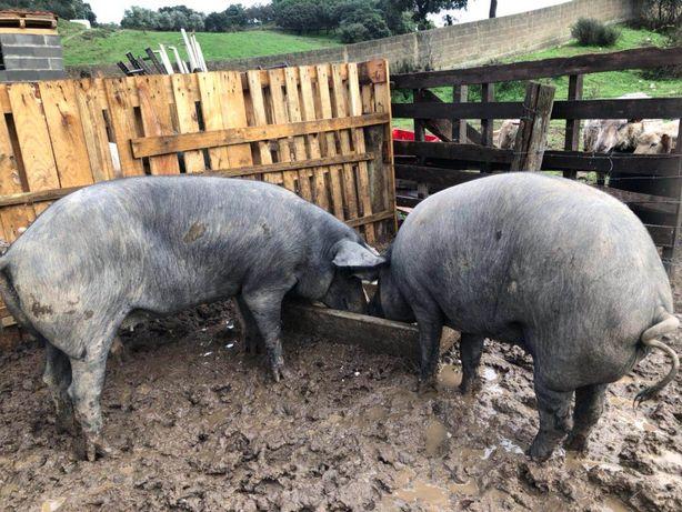 Porcos pretos domesticos e cruzados 1 euro o kilo