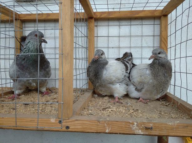 Продам голуби французький монден