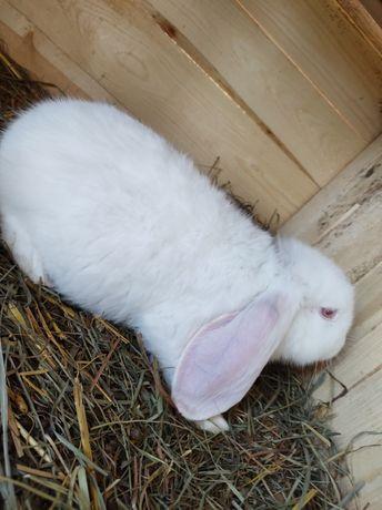 Baran francuski biały królik króliki