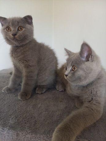 Koty brytyjskie , kocurki