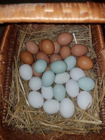 Jajka lęgowe araukany, silki