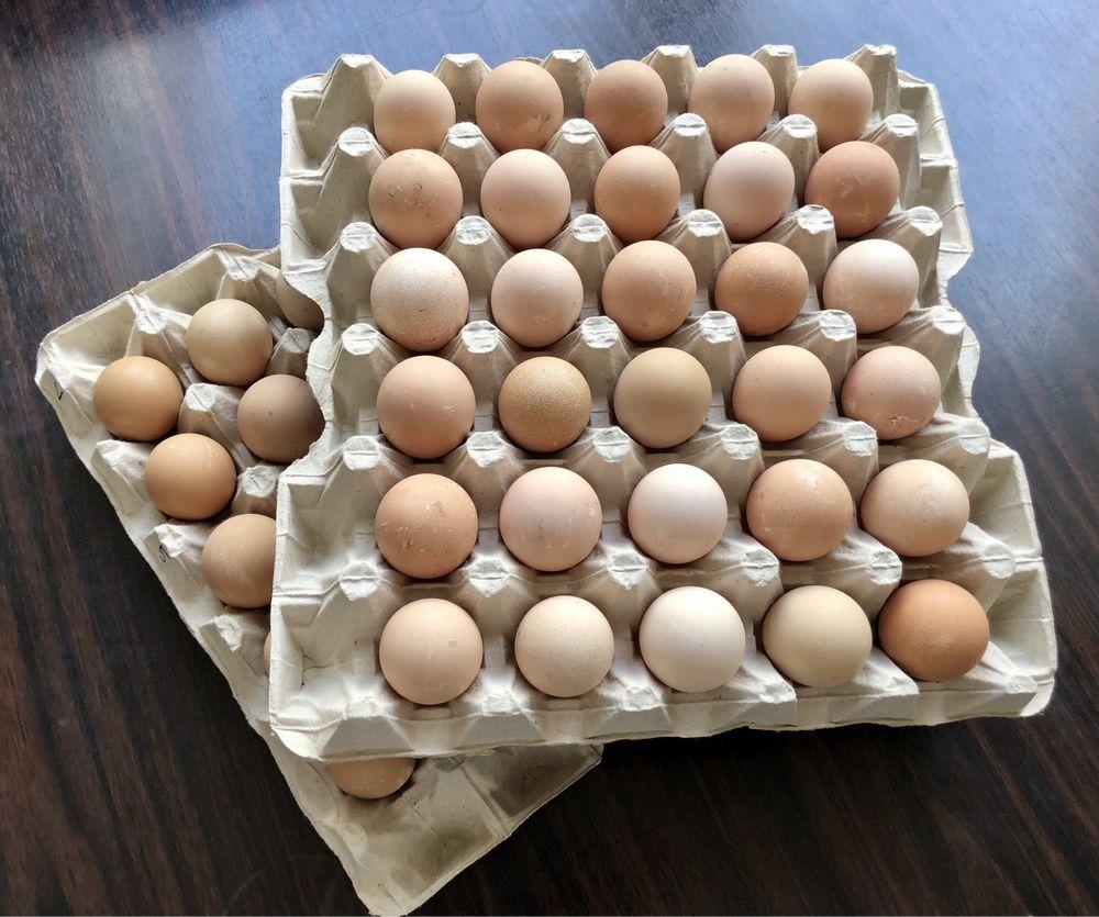 Jaja lęgowe perlica perliczka perliczki