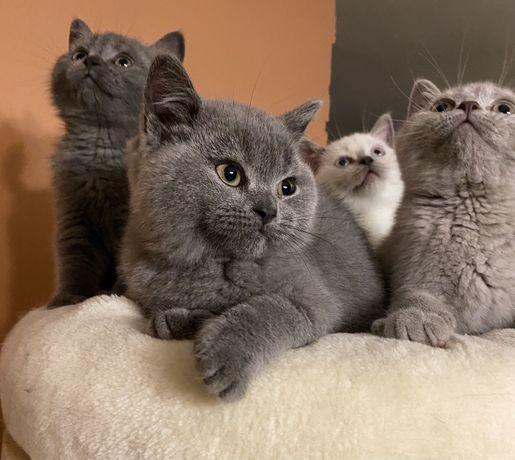 Koty Brytyjskie Liliowy Kot Point Liliowa Kotka