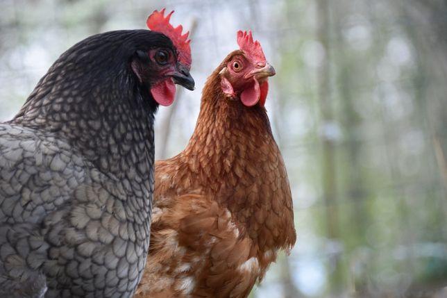koncentrat serwatka  mleko w proszku kury nioski indyki kaczki gęsi
