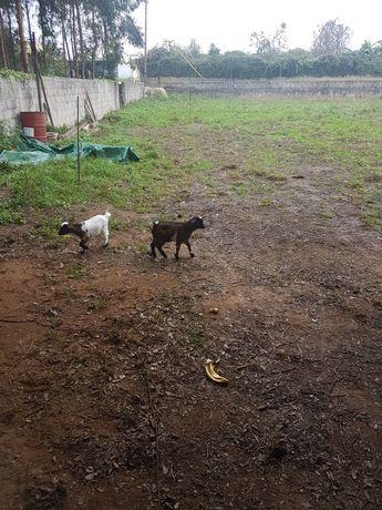 Vendo cabras anas e micro anas