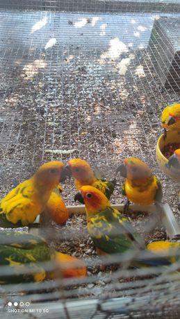Várias aves aratingas sol e red rump