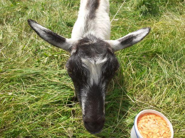 Продам козу Забаву