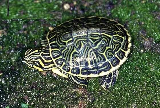 żółw pseudemys penisularis