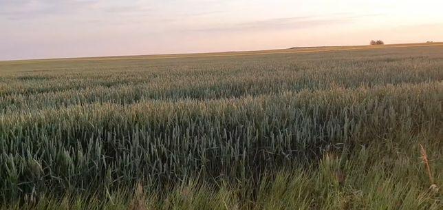 Канадская пшеница двуручка Фокс, высев 120-140 кг/га