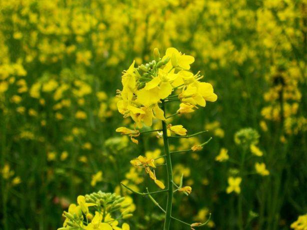 Семена Горчицы желтой (Гірчиця жовта) для посева