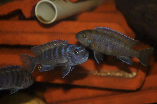 Peixe Ciclideos Pseudotropheus Elongatus