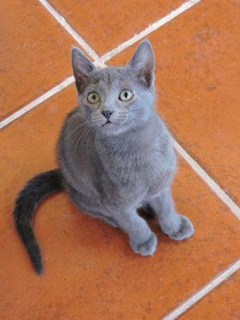 Alegria em casa, lindo gatinho filho pais Russo Azul