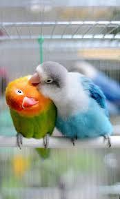 Голубые Неразлучники пара или по одному