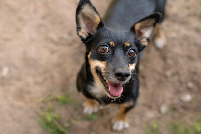 Tinka - sunia uniknęła schroniska, prosi o dom, pies do adopcji, 8,5kg