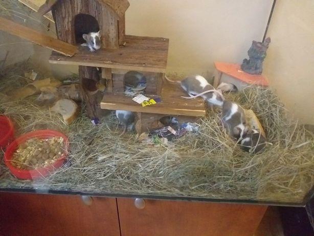 Myszy, myszki gryzonie