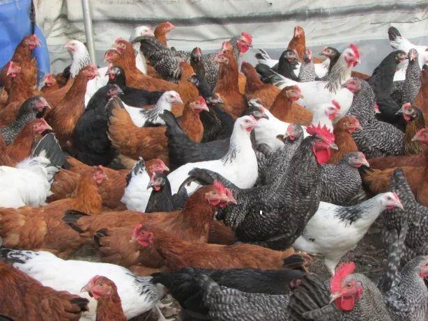 Młode kury nioski,kurki, kurczaki odchowane,kokoszki wiek od 8-21 tyg.
