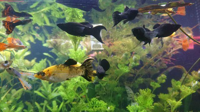 Ryby, rybki, narybek - molinezje, gupiki, mieczyki