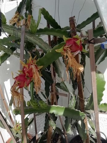 Pitaya vermelha (mudas)