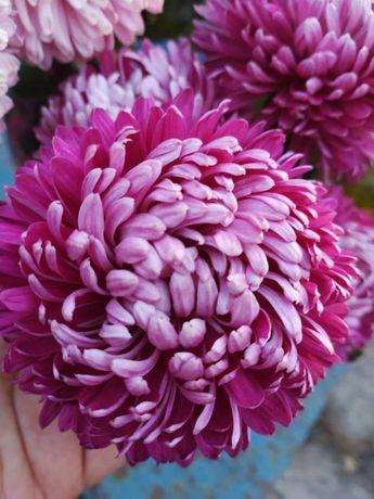 Хризантеми черенки