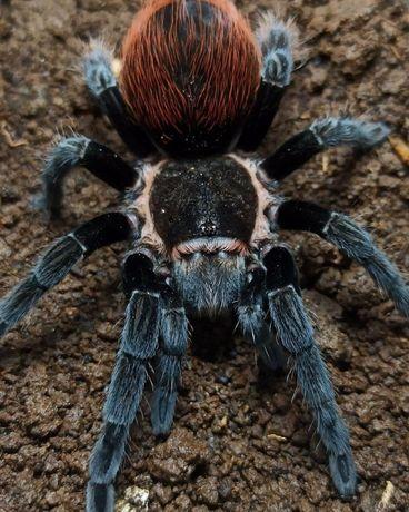 Самочка для новичков Brachypelma vagans паук птицеед отправка Украина