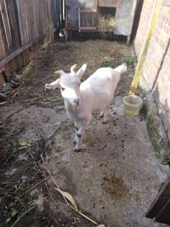 Продаю молодую козу
