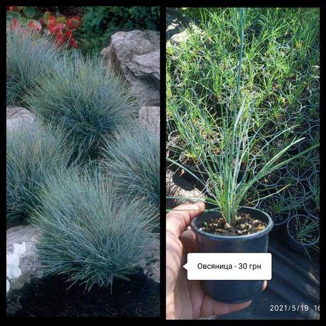 Овсяница - и другие садовые многолетние растения