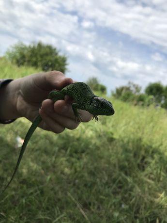 Ящерица Зеленого цвета