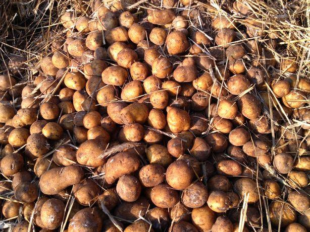 sadzonki ziemniaków jadalnych odmiany Vineta