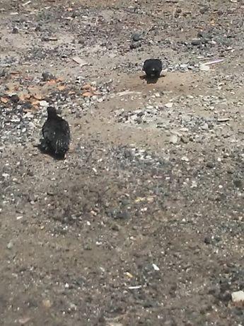 Wywrotki gołębie