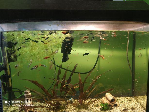 rybki żyworodne różne
