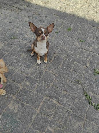 Ищет дом собака чихуахуа