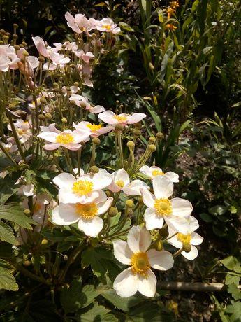 Продам цветы многолетники ;
