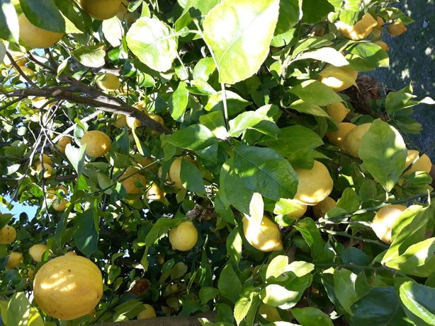 Limões Boa qualidade 1€ / kg