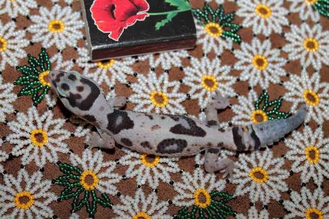 Ящерица Гемитеконикс для начинающих любителей рептилий.