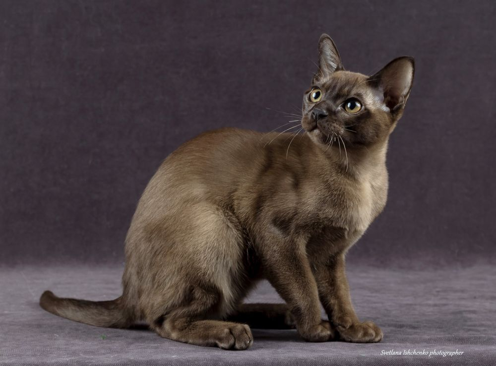 Продажа котят породы Бурма