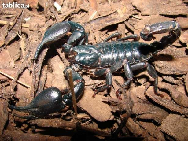 Skorpion dla początkujących Heterometrus petersi
