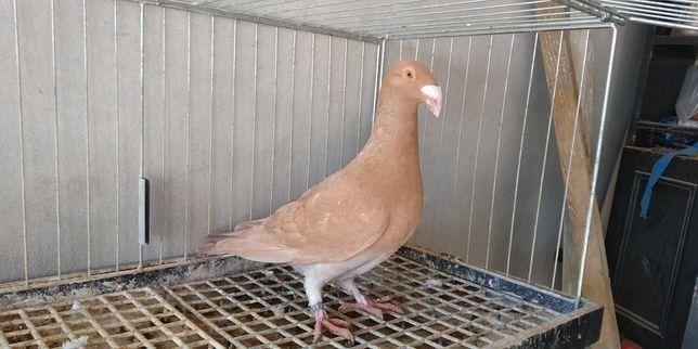 Gołębie Ptaki Rzeszowskie
